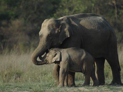 Raja ji national park elephants